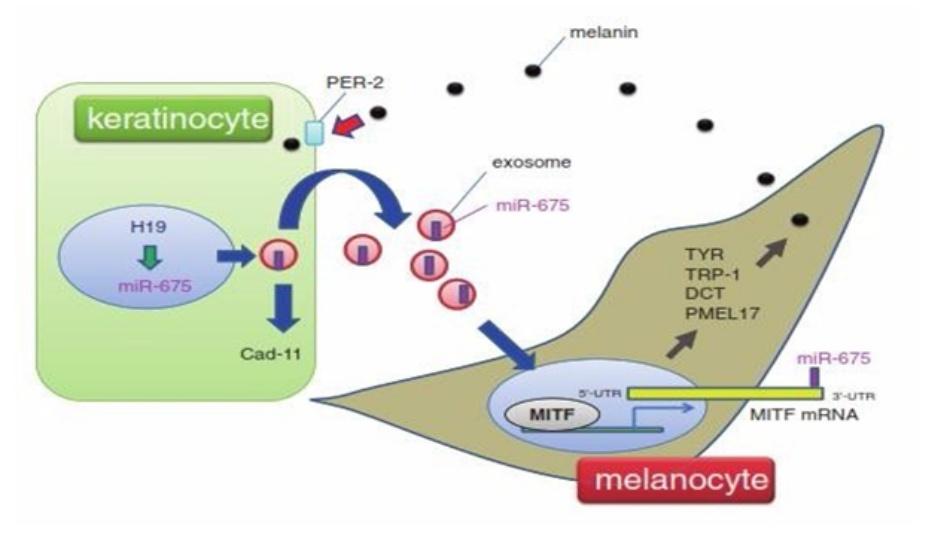 Hình 11.2 Vai trò của miR-675 trong nám. Điều hòa âm tính RNA H19 không mã hóa được quan sát thấy trên vùng da tổn thương của bệnh nhân nám. H19 làm giảm đột ngột sự biểu hiện của miR-675. miR-675 được tiết từ tế bào sừng (keratinocyte) thông qua các túi ngoại bào (túi có nguồn gốc từ hệ thống mạng lưới nội chất) và ức chế sự biểu hiện của MITF mRNA bằng cách gắn vào đầu 3'-UTR của mRNA này bên trong melanocyte. Cadherin 11 (Cad-11) là mục tiêu khác của mỉ-675