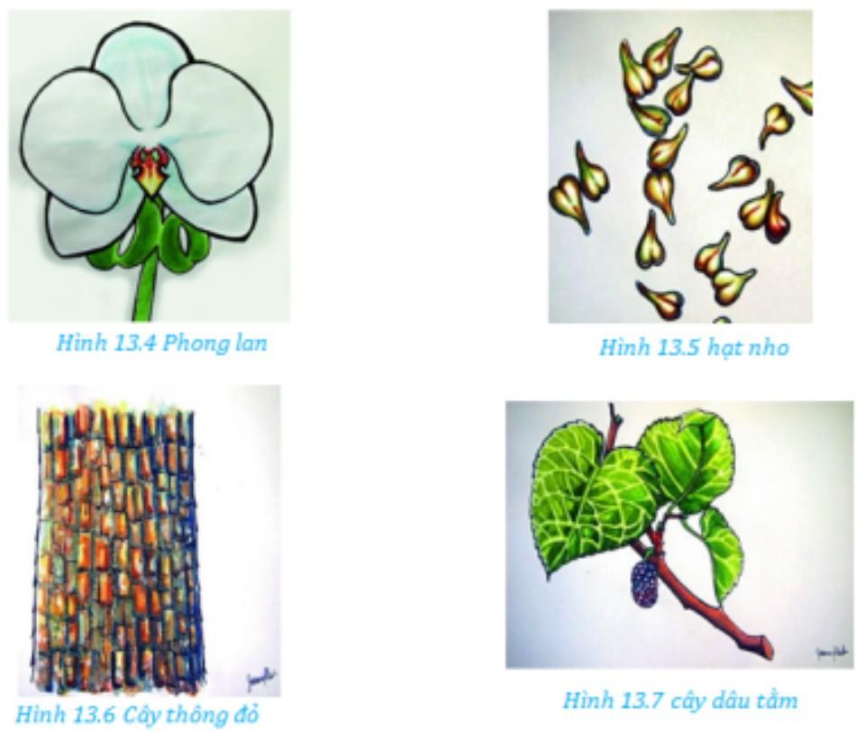 Hình ảnh minh họa về Phong lan, hạt nho, cây thông đỏ và cây dâu tằm