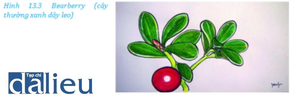 Hình ảnh minh họa về cây thường xanh dây leo (Bearberry)