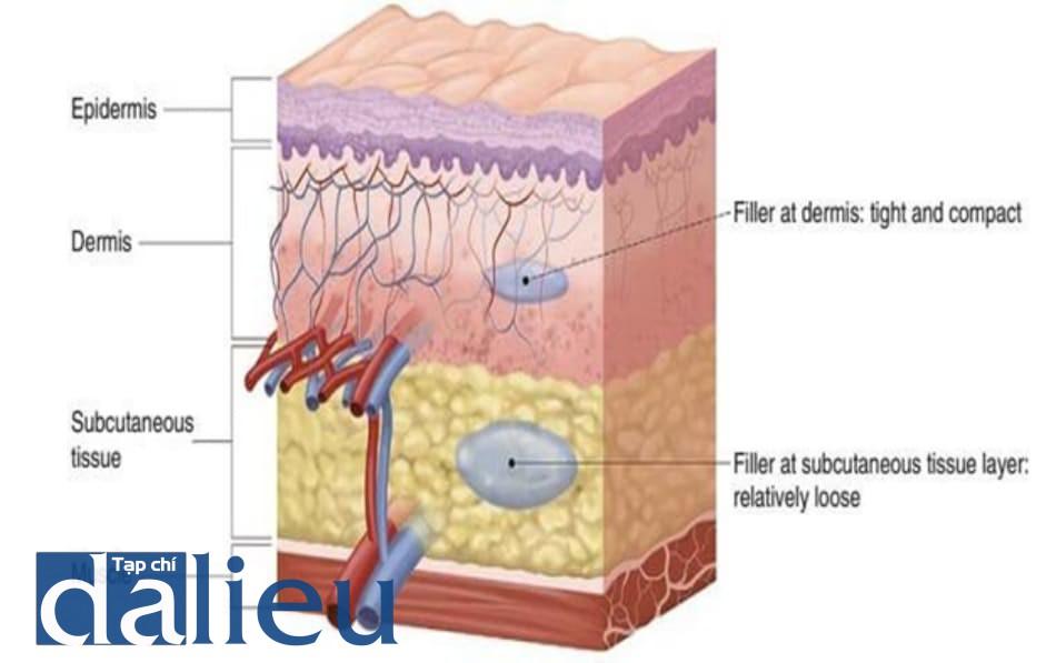 Hình 5.1 Cấu trúc cắt dọc của da. Lớp bì có cấu trúc nén chặt so với lớp mô dưới da