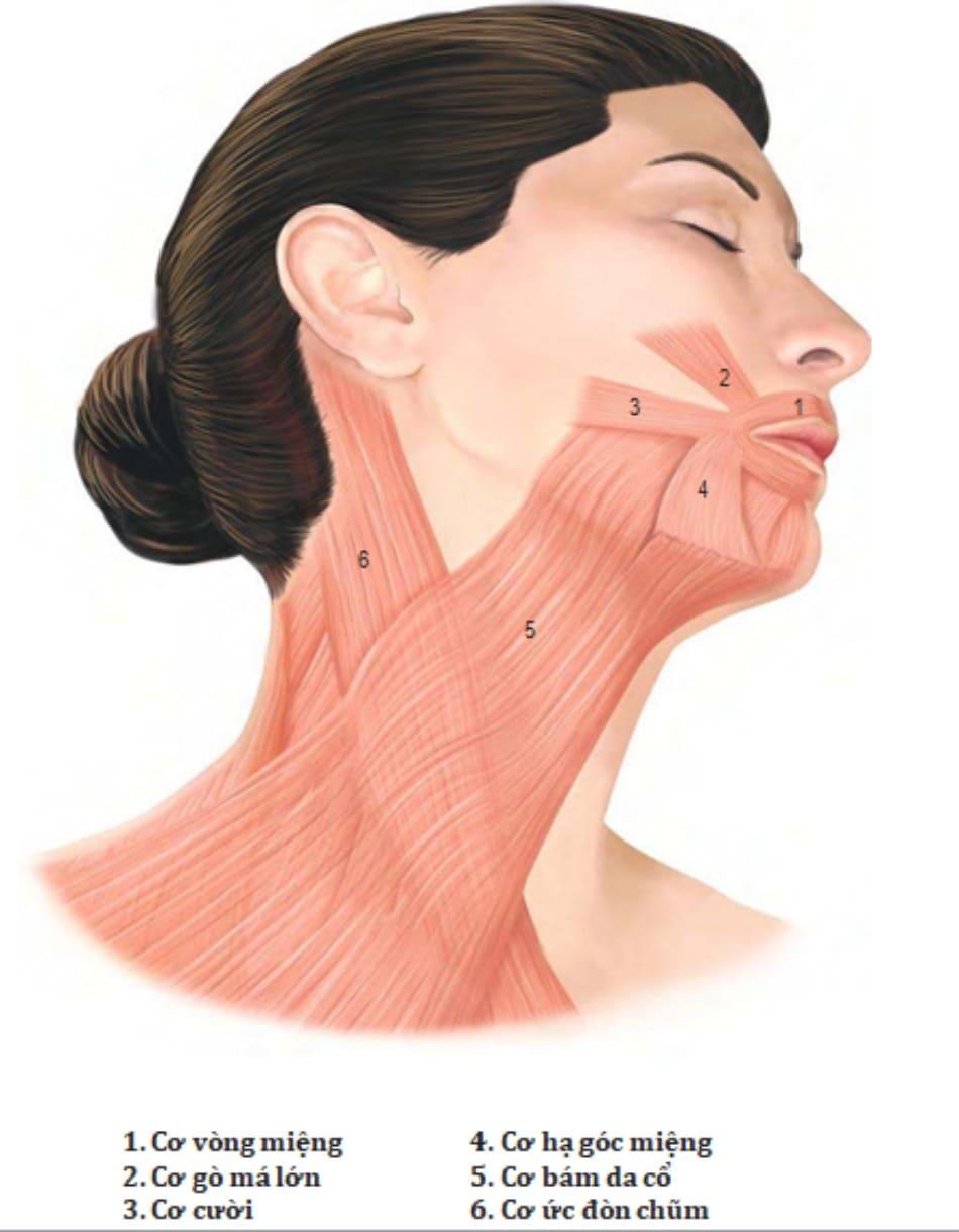 Hình 2. Cơ vùng cổ và vùng mặt dưới.