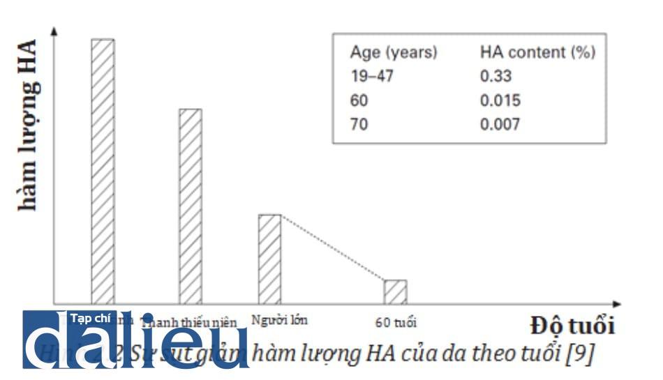 Hình 2.2 Sự sụt giảm hàm lượng HA của da theo tuổi [9]