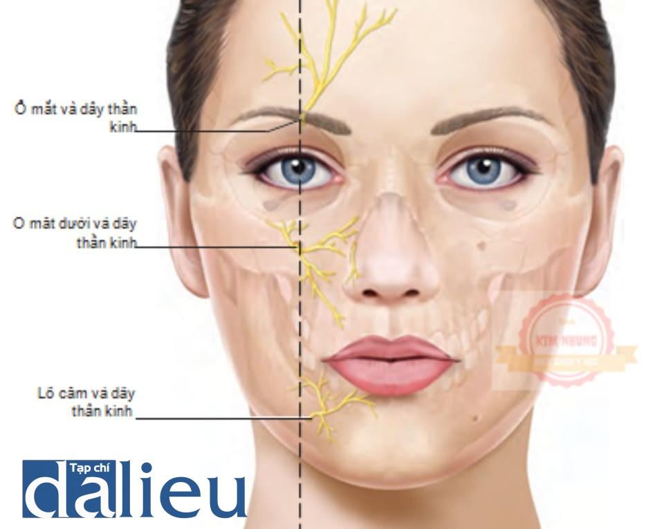 FIGURE 4 ● Dây thần kinh và các lỗ của khuôn mặt.