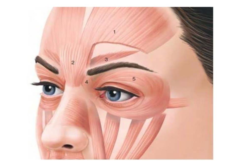 Hình 2. Giải phẫu phức hợp cơ gian mày.