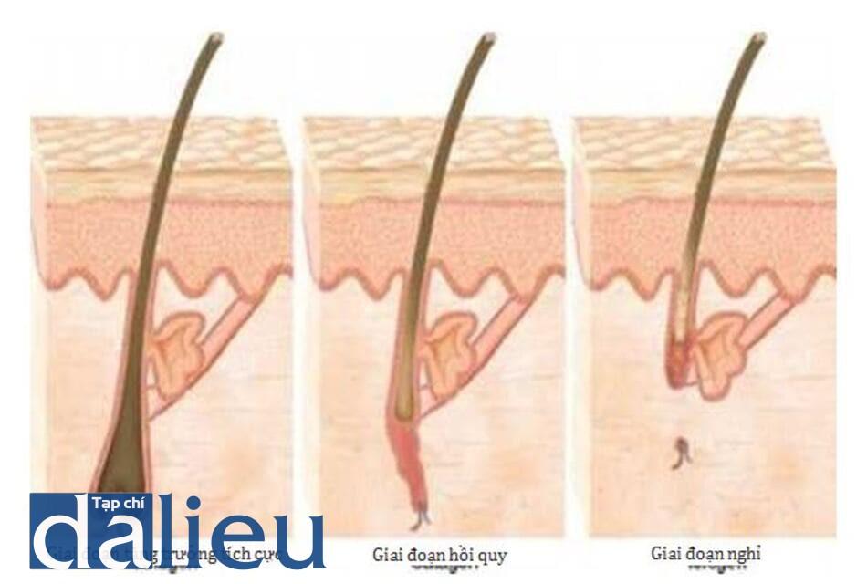 HÌNH 3 Các giai đoạn phát triển lông.
