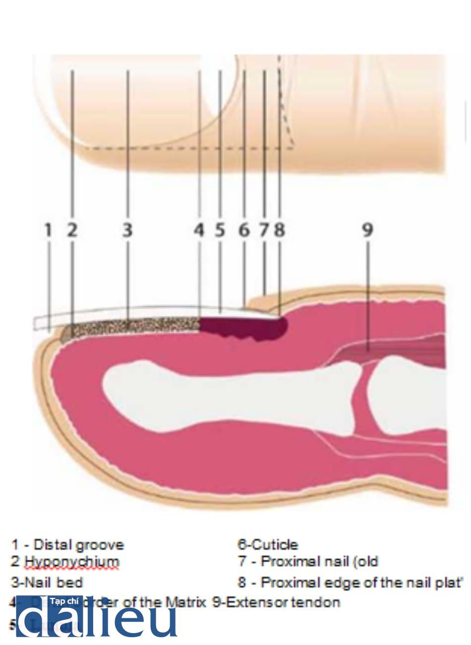 Fig. 14.2 Nail anatomy
