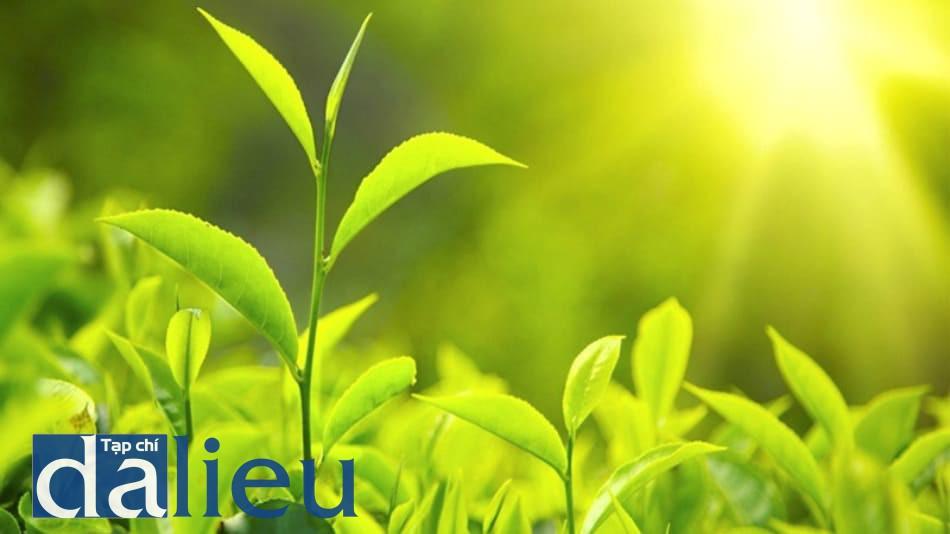 Hình ảnh trà xanh
